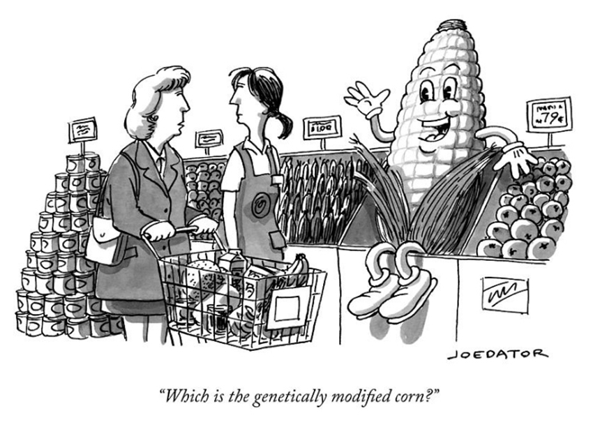 by Joe Dator: Which is the genetically modified corn?